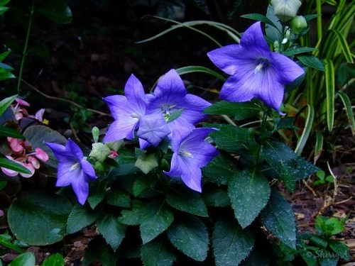 clump of balloon flowers