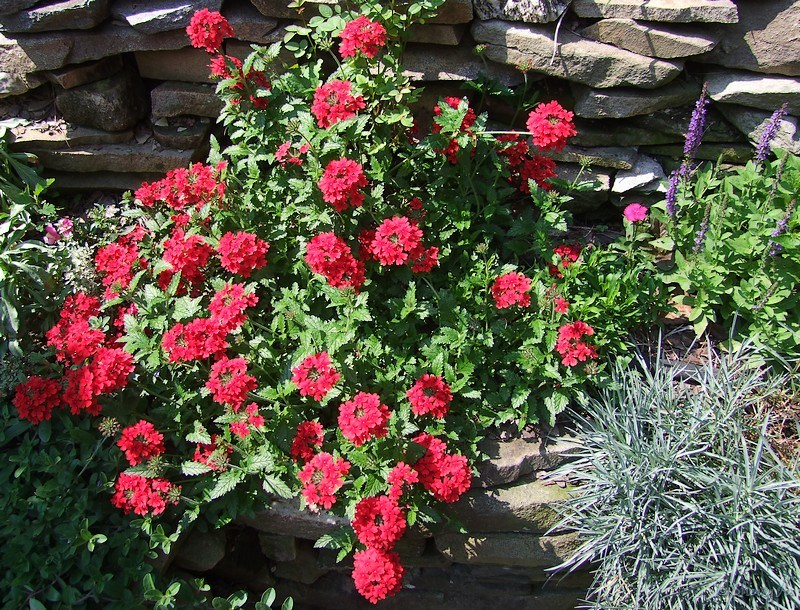 Red verbena sherry 39 s place for Red rock for flower beds