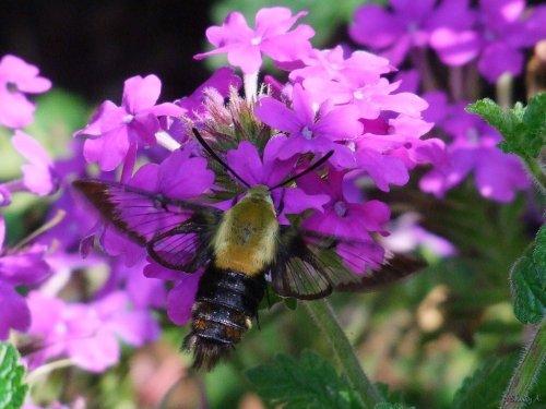 hummingbird moth and verbena
