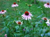 second year double decker coneflowers