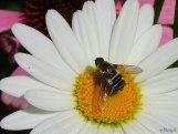 shasta daisy and bee