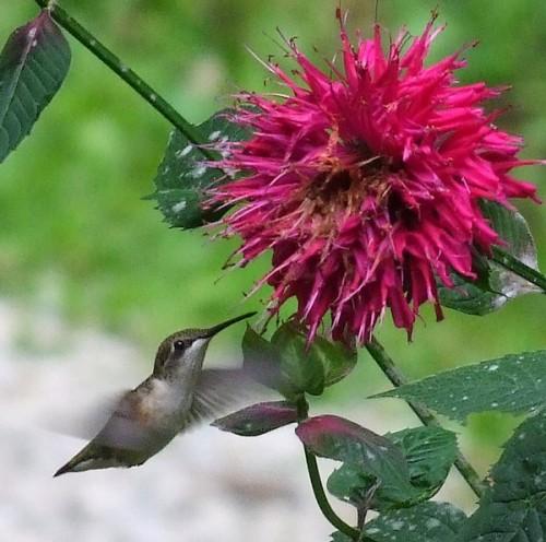 hummingbird and bee balm flower