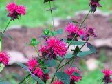 bee balm flower bed