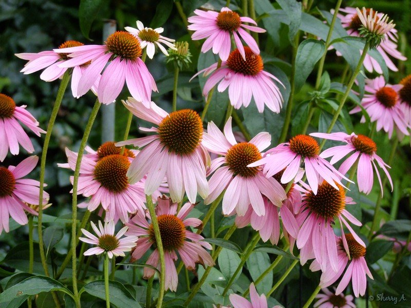 coneflowers in bloom sherry s place