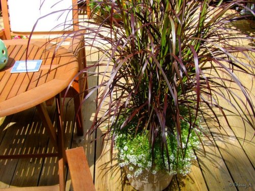 fountain grass in a container