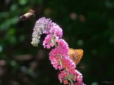 hummingbird moth and butterfly