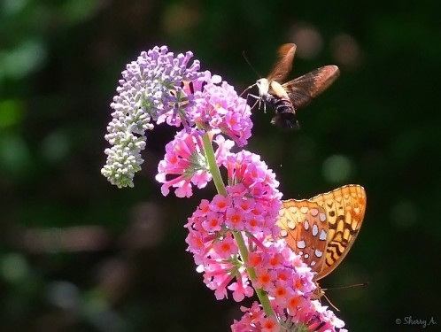 hummingbird moth and fritillary butterfly