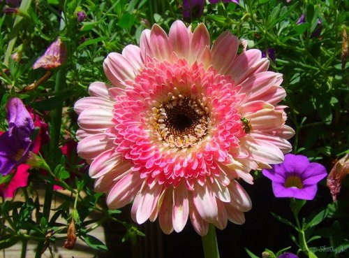 lollipop gerbera