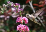 hummingbird on bicolor butterfly bush