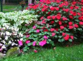 impatiens and begonias