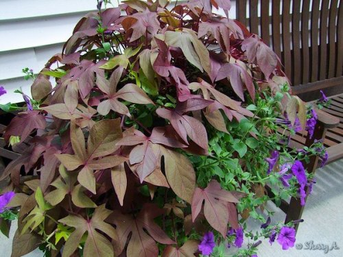 sweet potato vine and petunias