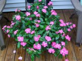pink vinca in a large container