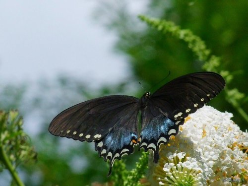 swallowtail and butterfly bush