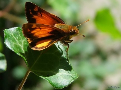zabulon skipper on ivy leaf
