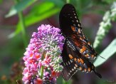 colorful spicebush swallowtail