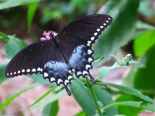 male spicebush swallowtail
