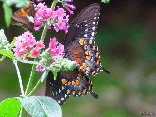 underside of spicebush swallowtail