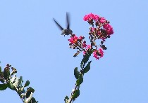 crape myrtle flowers and hummingbird