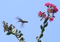 hummingbird and crape myrtle