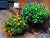 marigolds and torenia