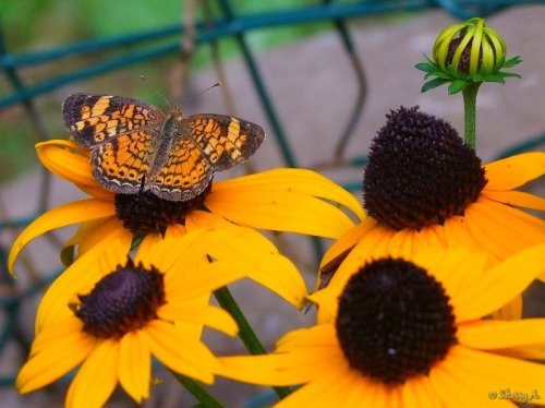 pearl crescent on black eyed susans