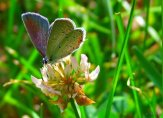 eastern tailed blue on clover