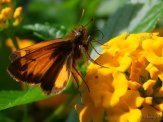 zabulon skipper and lantana