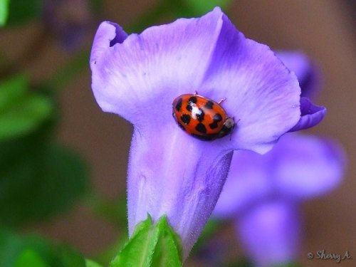 ladybug on torenia
