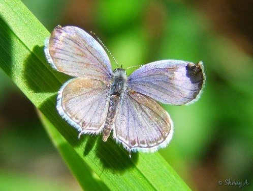 summer female, eastern tailed blue