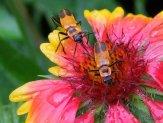 soldier beetles on gallardia flower