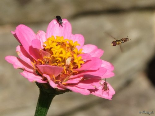 bees and bugs on a zinnia