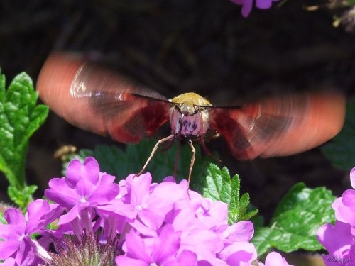 snowberry clearwing getting ready to fly