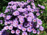 asters blooming a couple weeks ago