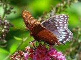 female diana on butterfly bush