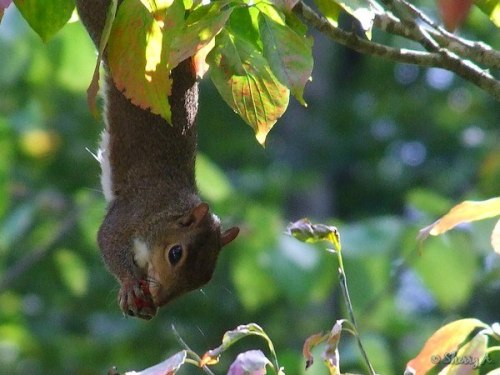 squirrel eating dogwood berries