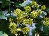 ivy blooms