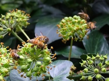 honeybees on ivy blooms