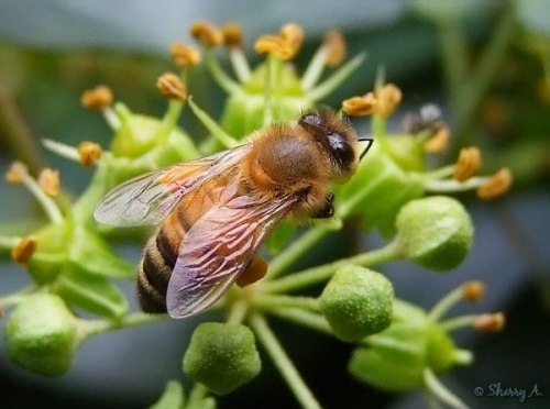 honeybee closeup