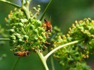 ivy flowers and bees up close