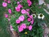petunias, coneflowers, coreopsis