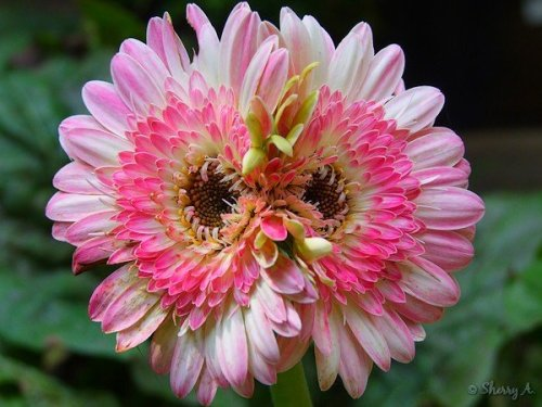 double Lollipop gerbera flower