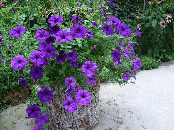 Gallery for purple wave petunias - Wave petunias in containers ...