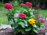 zinnias in rose bed