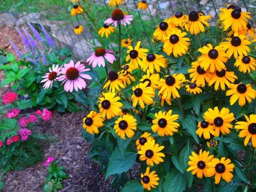 black eyed susans, coneflowers, salvia and yarrow