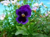 violas in container near pool
