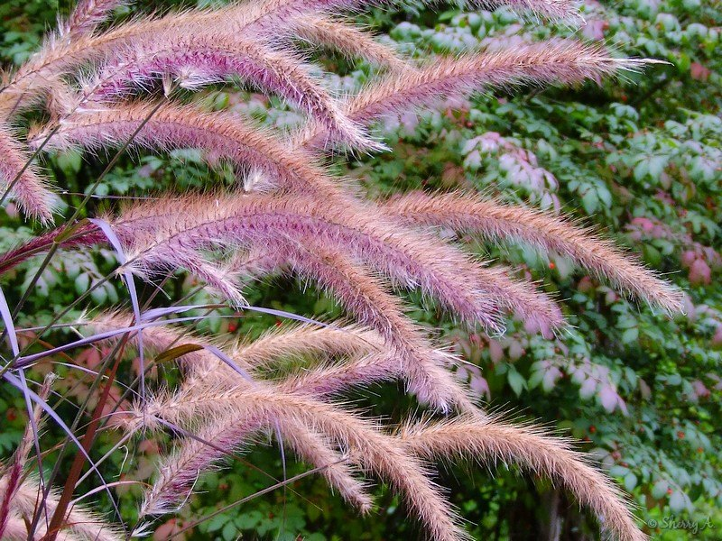 Fountain grass plumes sherry 39 s place for Ornamental grass with purple plumes