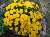 yellow potted mums