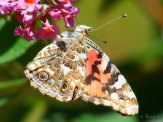nectaring at butterfly bush