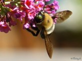 bumblebee at butterfly bush