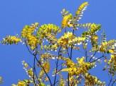 black walnut tree fall color